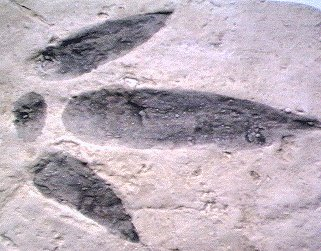 Footprint of Megalosaurus